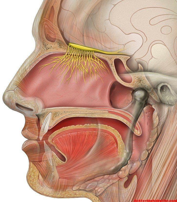Head olfactory nerve