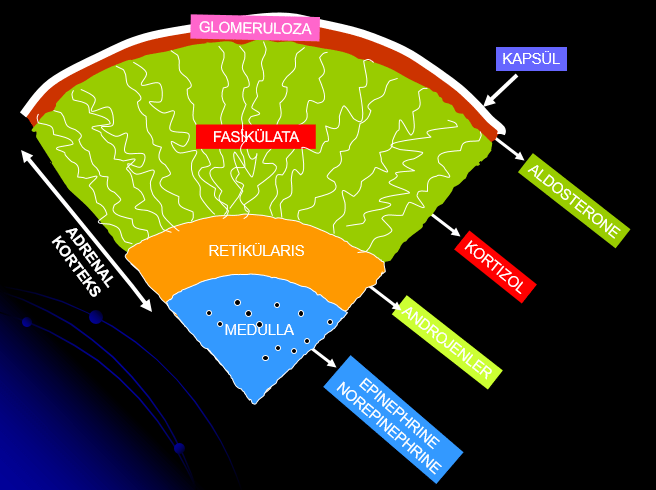 adrenal korteks tabakalari