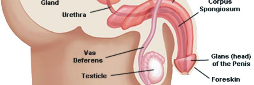 Erektil disfonksiyonu kavrayabilmek için penis anatomisine dikkat edelim.