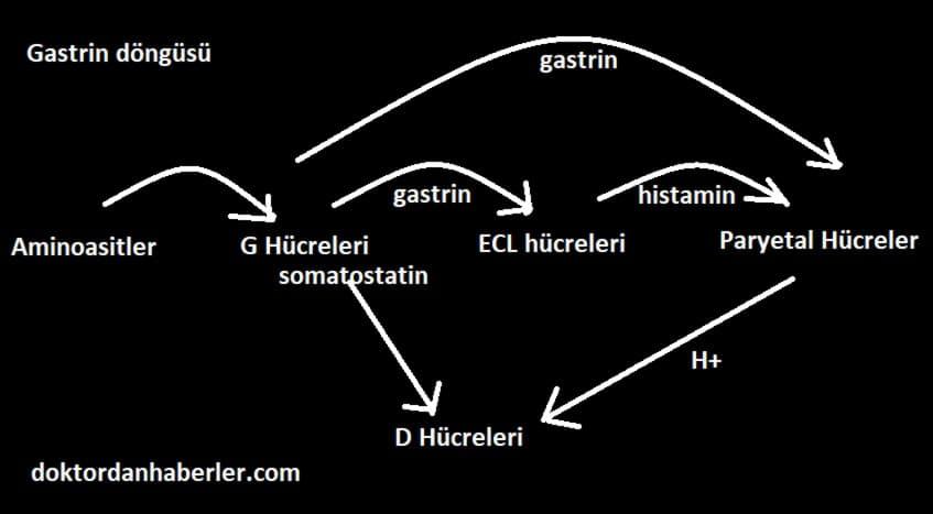 gastrin hormonu üretim döngüsü